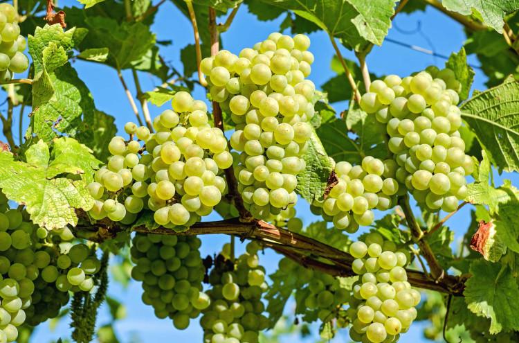 Будет создан национальный бренд бессемянного винограда